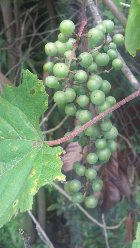 (These will not be green when ripe)